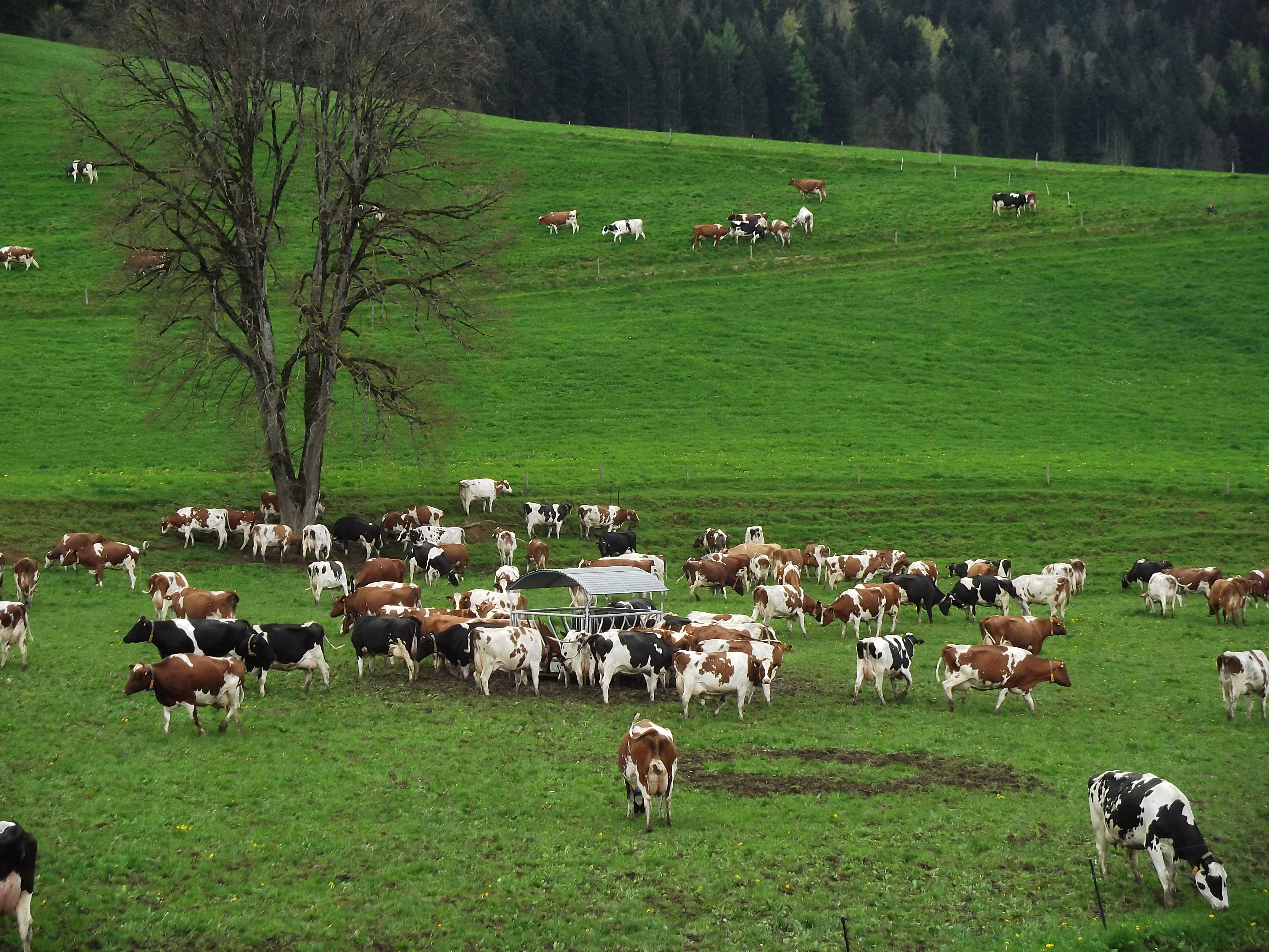 Troupeau de 300 vaches laitières